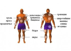 Анатомия мышц