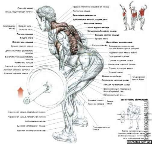 С Уважением Рогаль... мышцы спины тягой штанги в наклоне, то вам пора браться за тренировки и качать нашу спину.