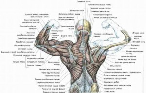 Мышцы спины