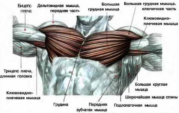Внутренние грудные мышцы в домашних условиях 27